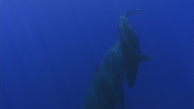 SLO MO MS Humpback whale (Megaptera novaeangliae) with calf swimming underwater / Moorea, Tahiti, French Polynesia
