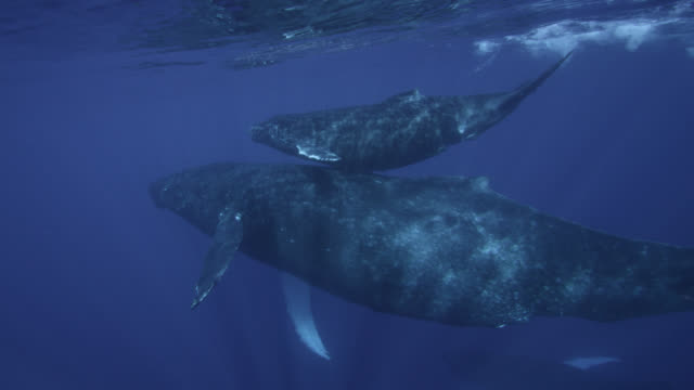 humpback whales (megaptera novaeangliae) and calf at surface of ocean, hawaii - buckelwal stock-videos und b-roll-filmmaterial