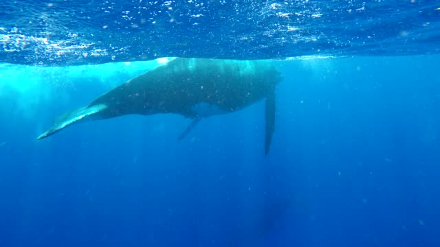 humpback whales are one of the earth's most beautiful and majestic creatures. they are also one of the most complex. their communication is beyond... - humpback whale stock videos & royalty-free footage