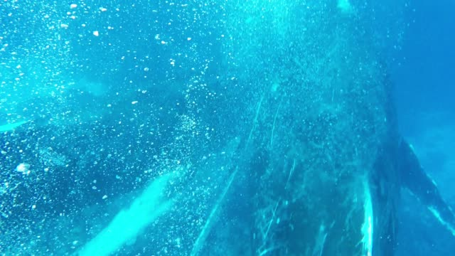 vidéos et rushes de humpback whales are one of the most beautiful animals on the planet. enormous and majestic, they are next in size only to a few other species of... - organisme aquatique