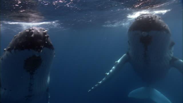 Humpback whales (Megaptera novaeangliae) at surface of blue ocean, Tonga