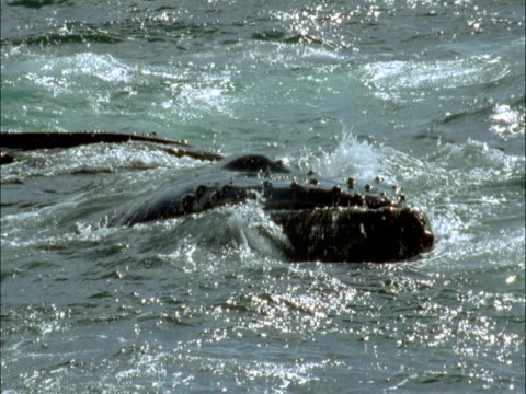 humpback whales at the surface of the ocean. - cetacea stock videos & royalty-free footage