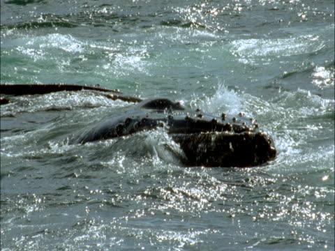 vídeos y material grabado en eventos de stock de humpback whales at the surface of the ocean. - cetáceo
