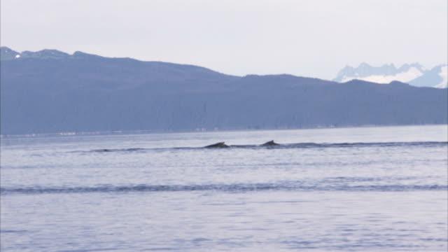 humpback whales breach and spout off alaska's mountainous coast. - アラスカ点の映像素材/bロール