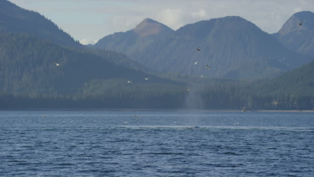 humpback whales breaching surface while gulls circle above. - cetaceo video stock e b–roll