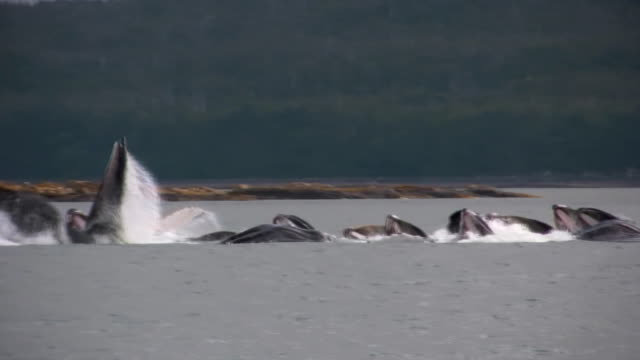humpback whales bubble net feeding fishing alaska glacier bay eating - whale watching stock videos & royalty-free footage