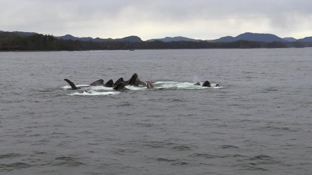 Humpback whales bubble net feeding in Sitka Sound, Alaska