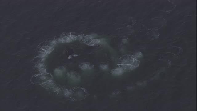 humpback whales bubble-net at the surface of the ocean. - ザトウクジラ点の映像素材/bロール