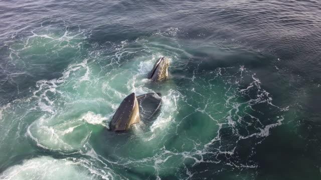 humpback whales bubblenet feeding, nantucket, usa - surfacing stock videos & royalty-free footage
