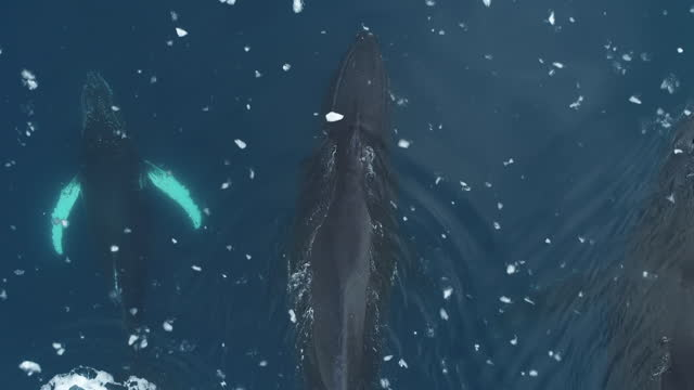 humpback whales, close overhead, antarctica - pod group of animals stock videos & royalty-free footage