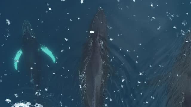 humpback whales, close overhead, antarctica - three animals stock videos & royalty-free footage