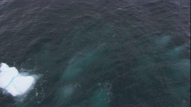humpback whales create a bubble net in the southern ocean. available in hd. - cetacea stock videos & royalty-free footage