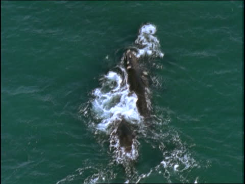 humpback whales feed cooperatively. - pod group of animals stock videos & royalty-free footage