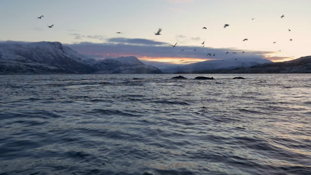 stockvideo's en b-roll-footage met humpback whales hunting for herring in norway - walvis