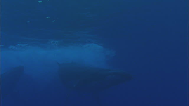 Humpback whales in blue ocean, French Polynesia, Pacific