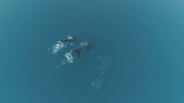humpback whales in glacial waters, antarctica - wal oder delfingruppe stock-videos und b-roll-filmmaterial