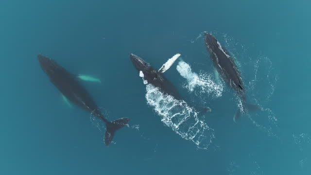 humpback whales in glacial waters, antarctica - three animals stock videos & royalty-free footage