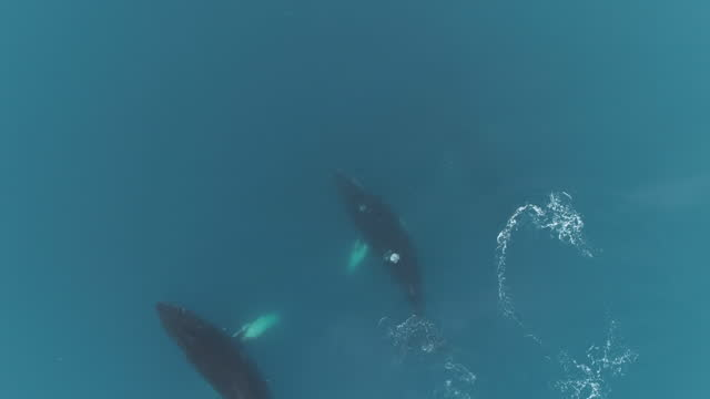 humpback whales in glacial waters, antarctica - pod group of animals stock videos & royalty-free footage