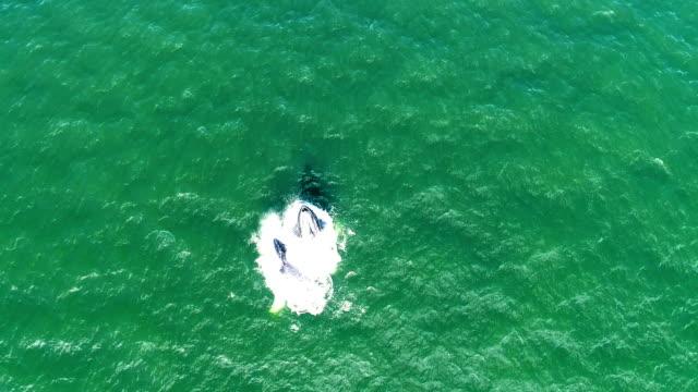 vídeos de stock e filmes b-roll de humpback whales lunge feeding together in nyc - salto de baleia