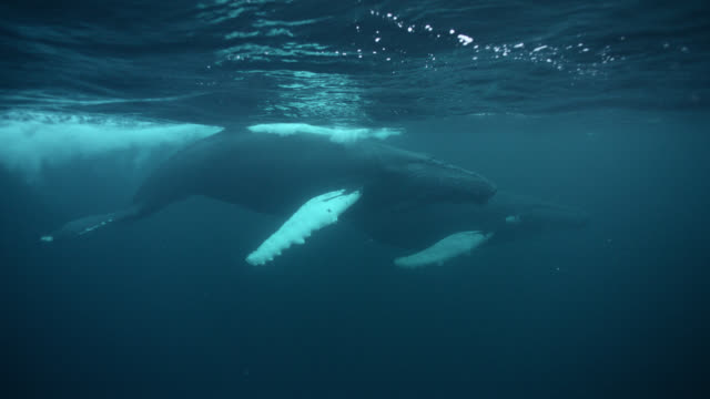 humpback whales near surface, norway - surfacing stock videos & royalty-free footage