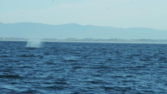 humpback whales ocean mammal swimming coastline pacific usa - blåshål djurkroppsdel bildbanksvideor och videomaterial från bakom kulisserna