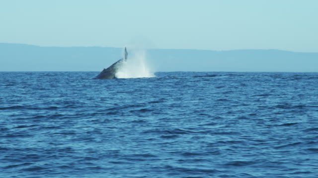 humpback whales ocean swimming monterey pacific northwest usa - tail stock videos & royalty-free footage