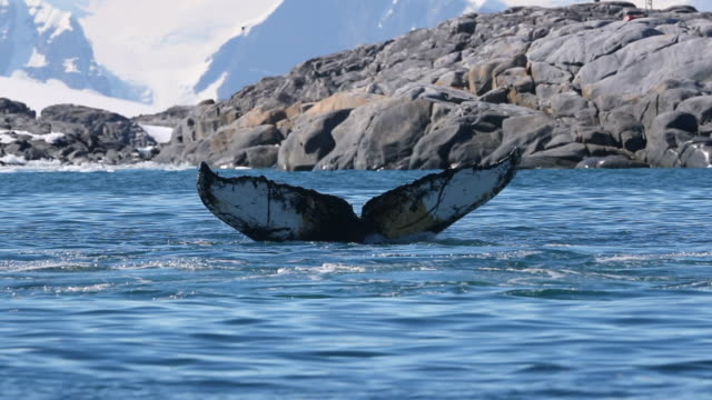 humpback whales show tail flukes - antarctica stock videos & royalty-free footage