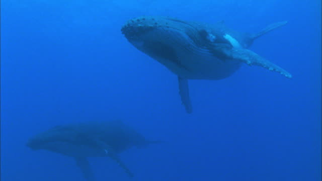 humpback whales sleep, french polynesia, pacific - wal stock-videos und b-roll-filmmaterial