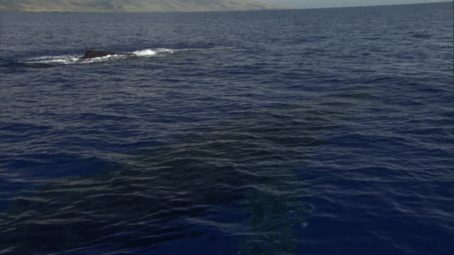 humpback whales spout as they swim along the hawaiian coast. available in hd. - balena video stock e b–roll