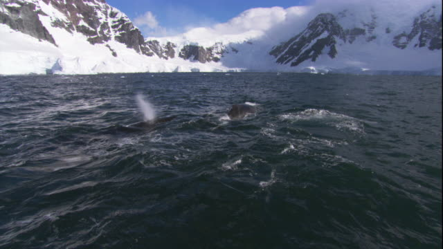 vidéos et rushes de humpback whales spout at the surface of the southern ocean near antarctica's snowy coast. available in hd. - remonter à la surface