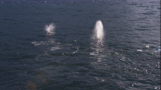 vidéos et rushes de humpback whales surface and spout in the southern ocean. available in hd. - remonter à la surface