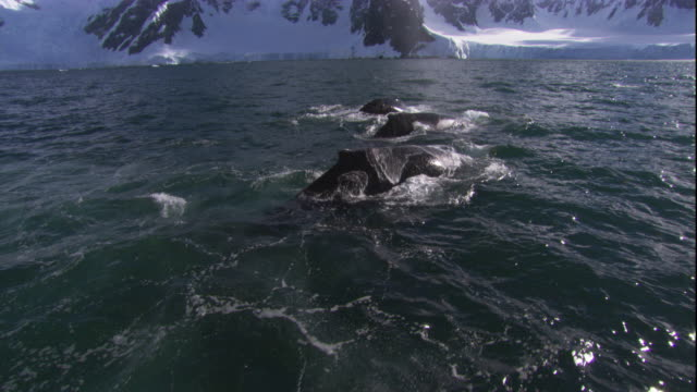 humpback whales surface and spout off the snowy coast of antarctica. available in hd. - antarctica whale stock videos & royalty-free footage