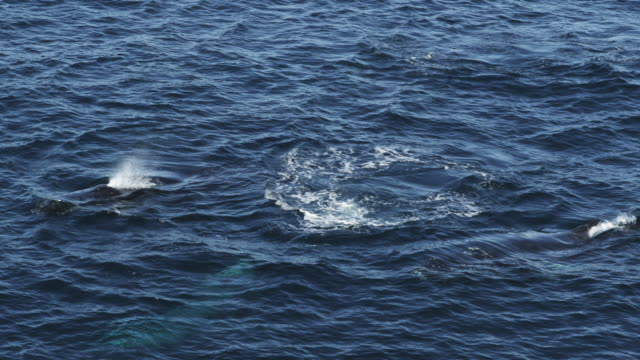 3 humpback whales surface blow and dive with dolphins alongside - migrating stock videos & royalty-free footage