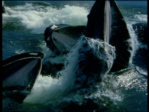 humpback whales surface, mouths gaping, see baleen fringe rippling as it rises from sea, alaska - pod group of animals stock videos & royalty-free footage