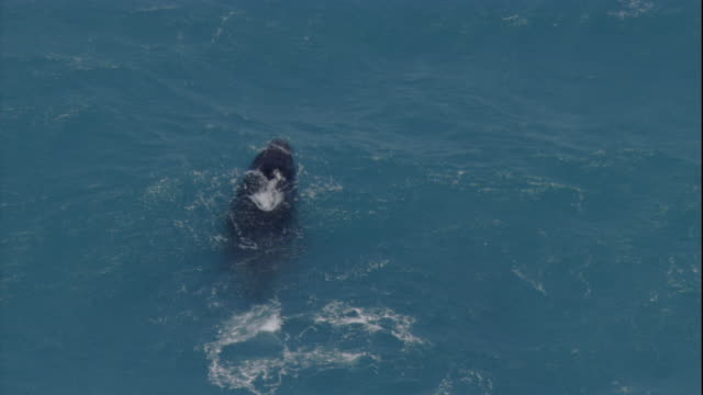 stockvideo's en b-roll-footage met a humpback whales surfaces. available in hd. - boven water komen