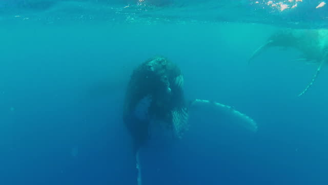 humpback whales swimming  at the surface - south pacific ocean stock videos & royalty-free footage