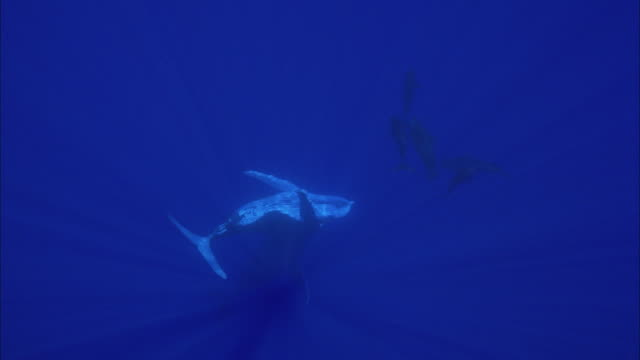 slo mo ws humpback whales (megaptera novaeangliae) swimming in ocean / moorea, tahiti, french polynesia - tahiti stock videos & royalty-free footage