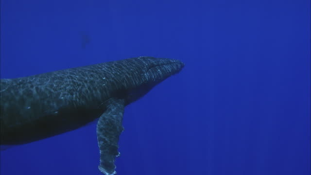 slo mo ms ws humpback whales (megaptera novaeangliae) swimming in ocean / moorea, tahiti, french polynesia - moorea stock videos & royalty-free footage
