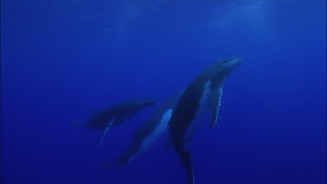 slo mo ws humpback whales (megaptera novaeangliae) swimming in ocean / moorea, tahiti, french polynesia - tail fin stock videos & royalty-free footage