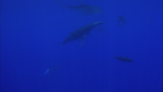 slo mo ws humpback whales (megaptera novaeangliae) swimming in ocean / moorea, tahiti, french polynesia - moorea stock videos & royalty-free footage