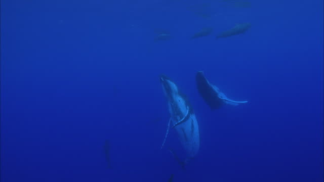 slo mo ws humpback whales (megaptera novaeangliae) swimming in ocean / moorea, tahiti, french polynesia - moorea stock videos and b-roll footage
