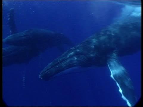 MS 3 Humpback Whales (Megaptera novaeangliae) swimming together underwater, Tonga