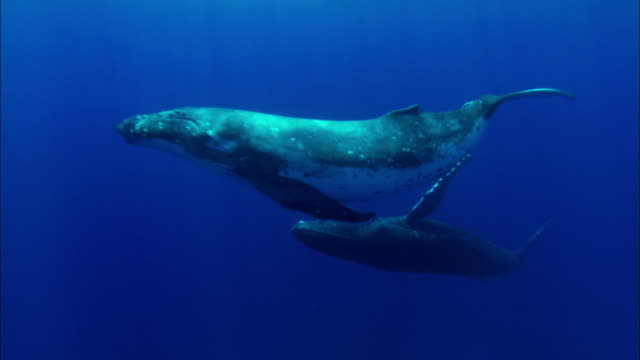 stockvideo's en b-roll-footage met humpback whales swimming underwater - walvis