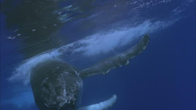 SLO MO CU Humpback whale's (Megaptera novaeangliae) tail splashing water / Moorea, Tahiti, French Polynesia