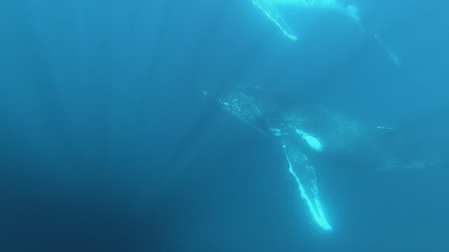 2 humpback whales underwater - balena video stock e b–roll