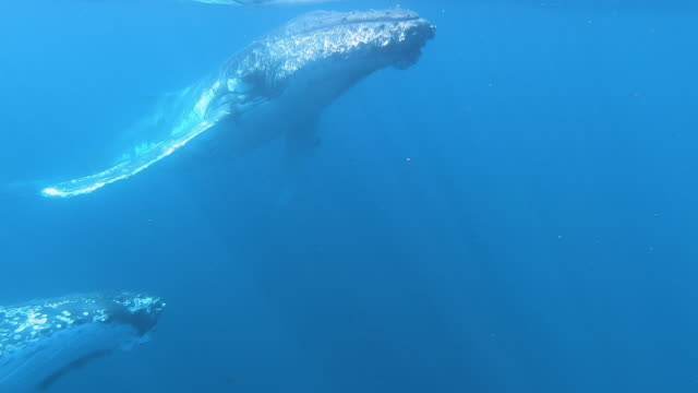 2 humpback whales underwater - humpback whale stock videos & royalty-free footage
