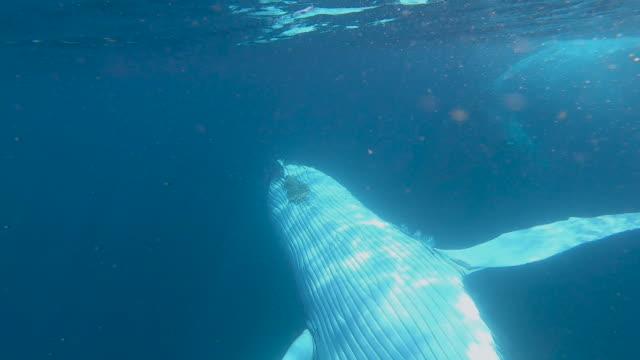 2 humpback whales underwater - underwater camera stock videos & royalty-free footage