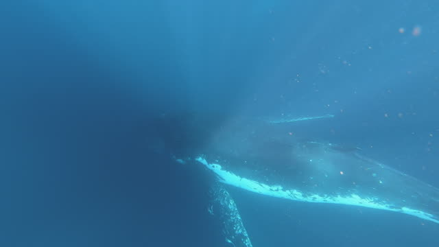 2 humpback whales underwater - whale watching stock videos & royalty-free footage