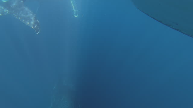 3 humpback whales underwater - whale watching stock videos & royalty-free footage