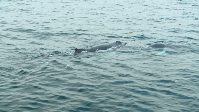 HD: Humpback whales